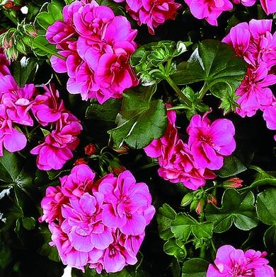 Sötét rózsaszín virág, erős növekedés